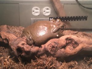 Todd the Toad on display in an NDP science class (Katelyn Eberle/Special to The Seraphim)
